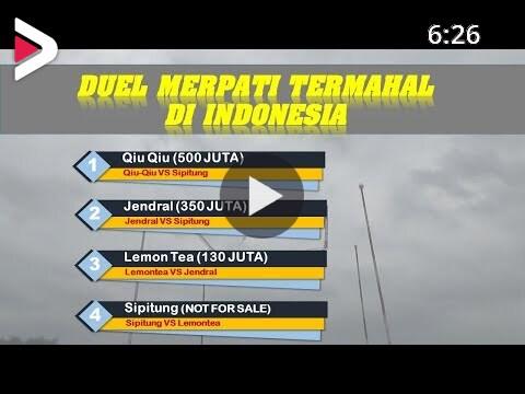 Merinding Duel Merpati Termahal Di Indonesia دیدئو Dideo